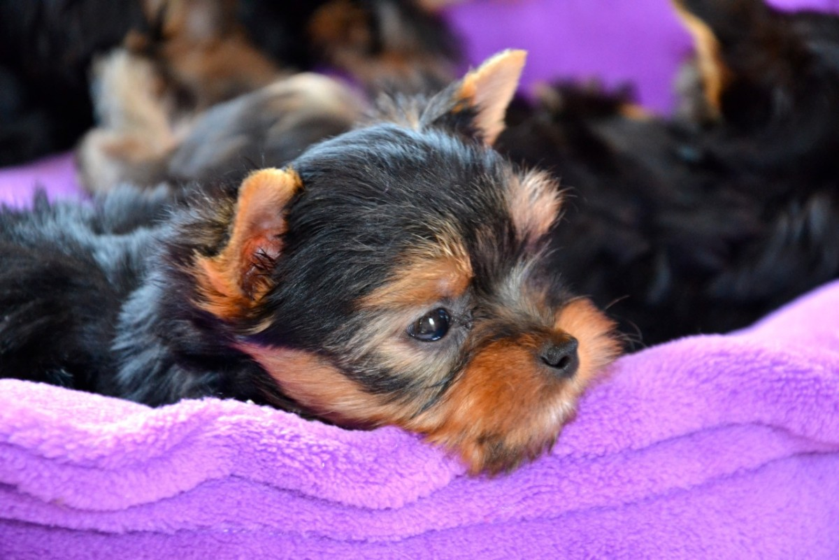 Quelinda`s Yorkshire Terrier  A - Wurf 76