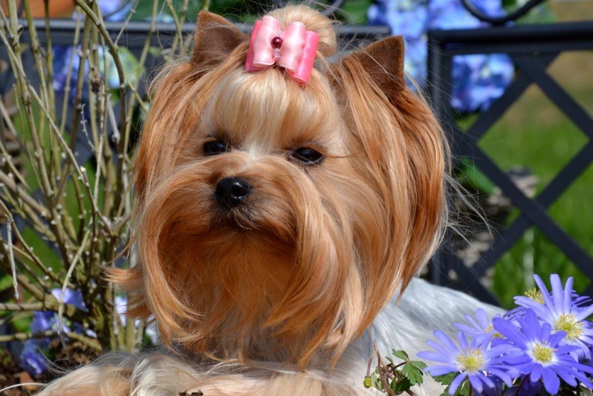 Quelinda`s Yorkshire Terrier  Lavinia 1