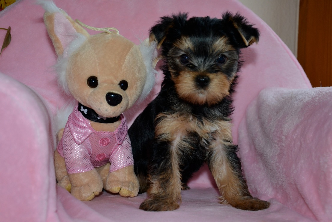 Quelinda`s Yorkshire Terrier O Wurf