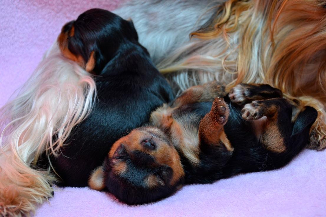 Quelinda`s Yorkshire Terrier Q Wurf