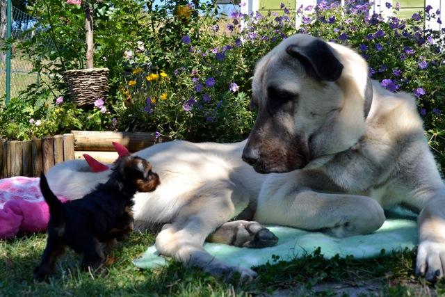 Quelinda`s Yorkshire Terrier R Wurf