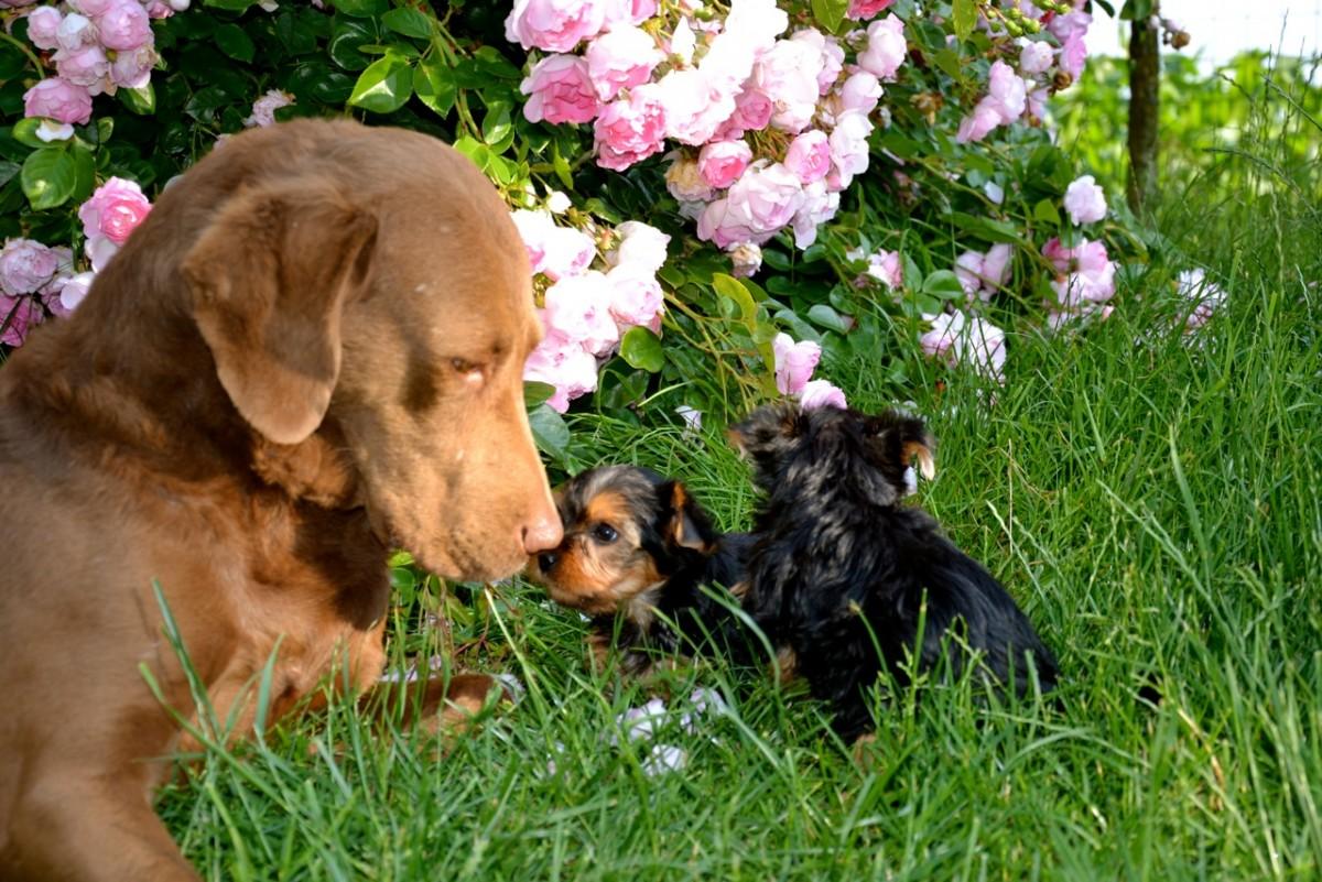 Quelinda`s Yorkshire Terrier  V - Wurf 17
